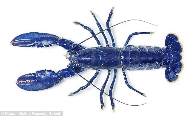 langosta azul tamaño
