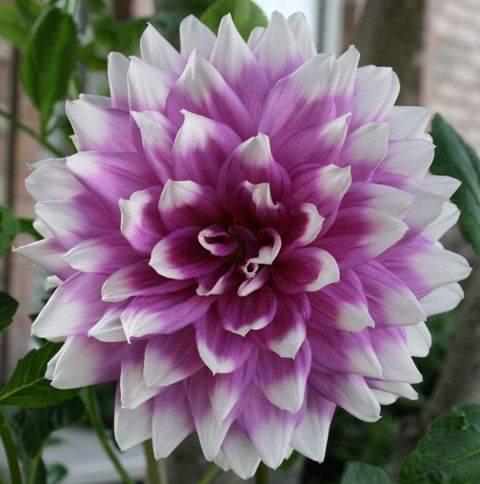Dinner Plate Dahlia Purple Dahlia Flower Dahlia Flowers