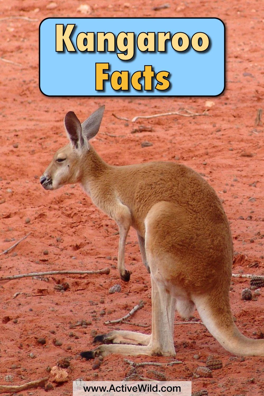 Kangaroo Information And Facts For Kids Kangaroo facts