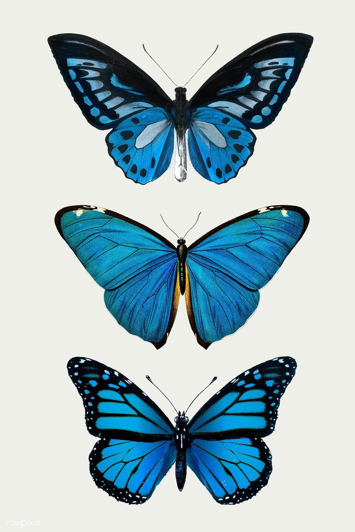 Download premium illustration of Vintage Common Blue butterflies