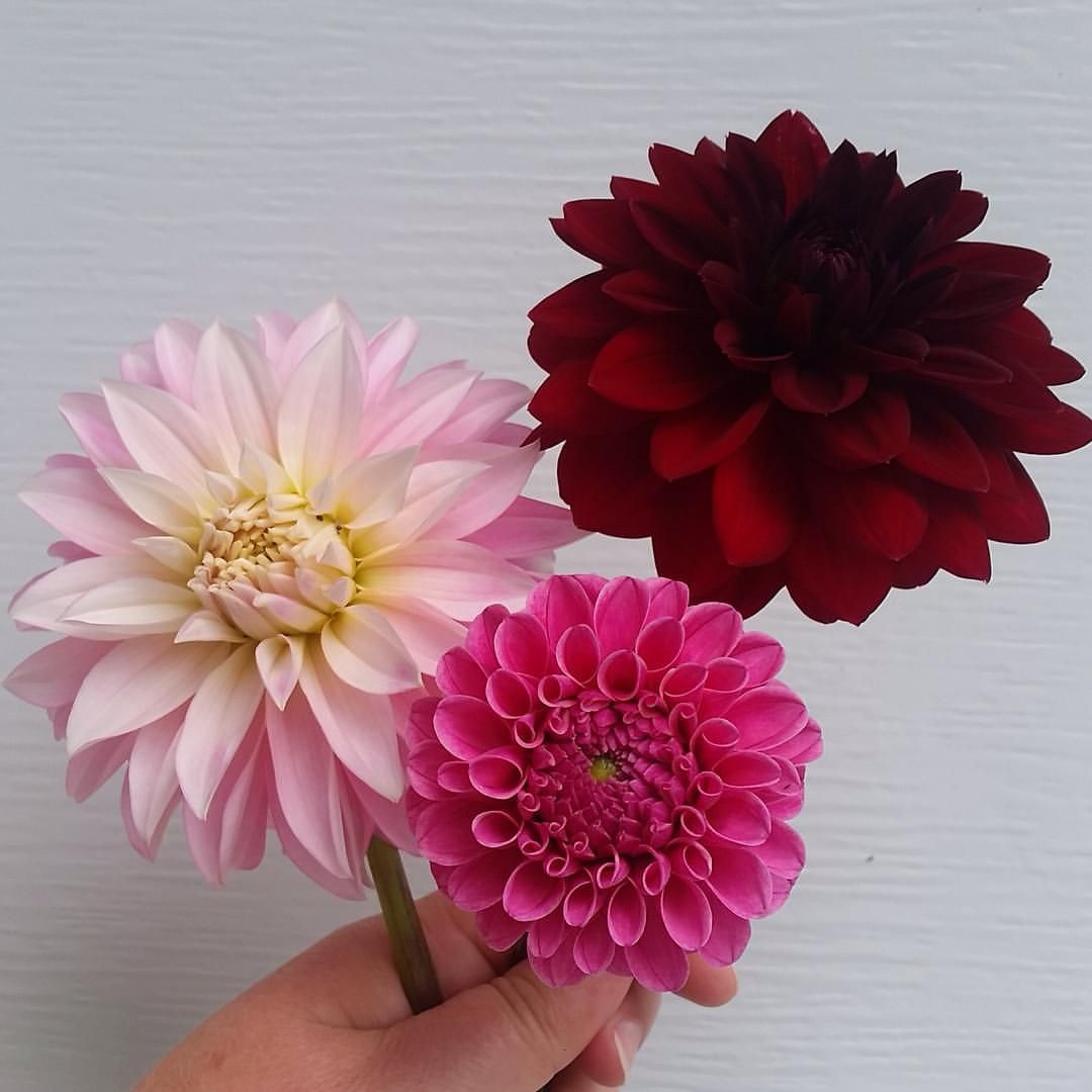 The dahlia patch is starting to bloom its little heart out these the dahlia patch is starting to bloom its little heart out these are the three varieties to pop first of course im waiting for the cafe au laits to izmirmasajfo