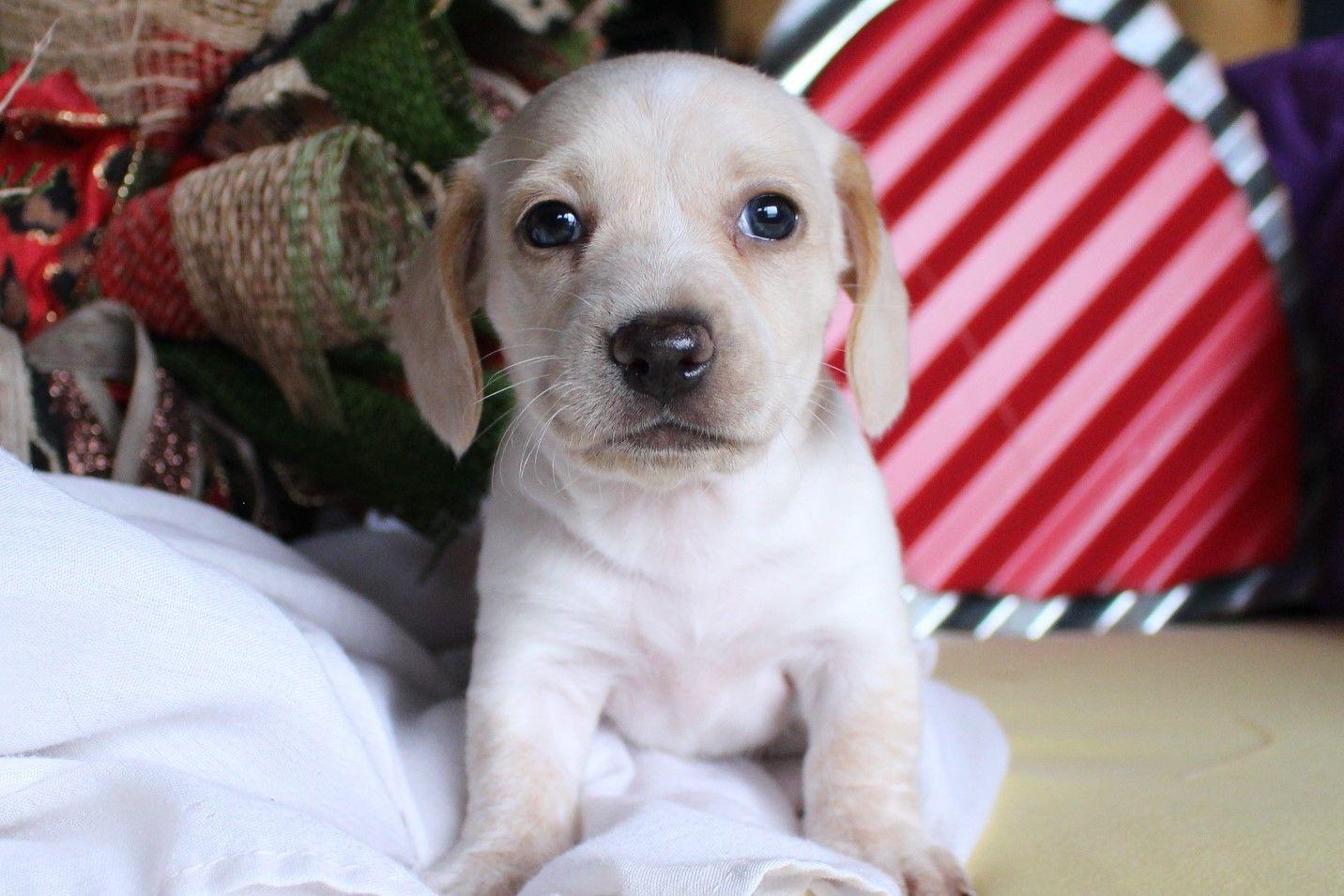 Cream Piebald Shorthair Dachshund Puppy Miniature Daschund