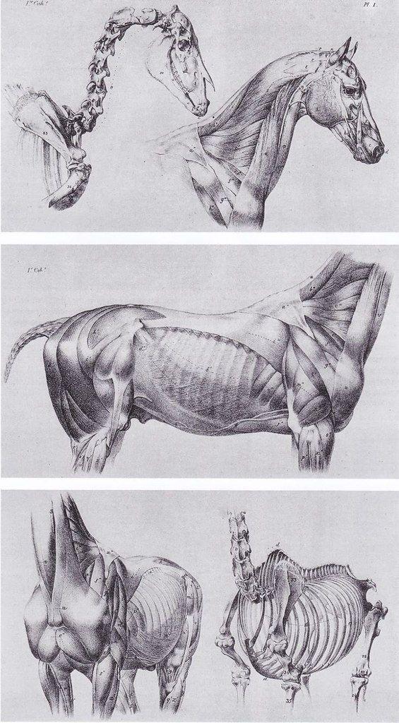 rGrOZ3jilys.jpg (565×1024) | anatomy_animals | Pinterest | Pferde ...