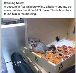 Possum in a bakery