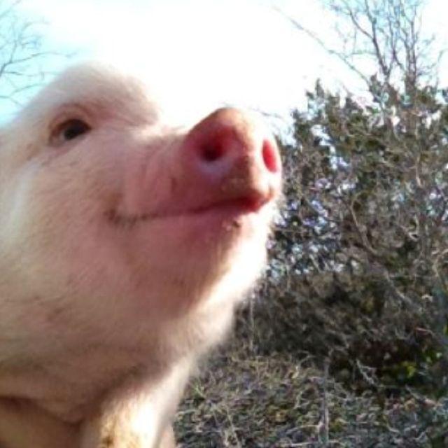 Baby Pig Wallpaper Tumblr