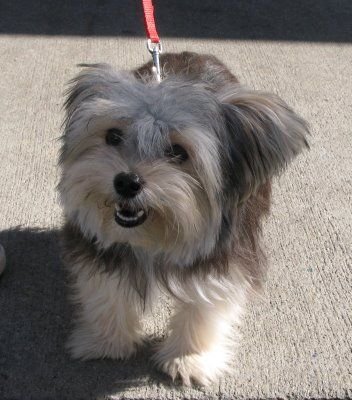 Maltese And Yorkie Mix Love This Mixed Breed Morkie Puppies