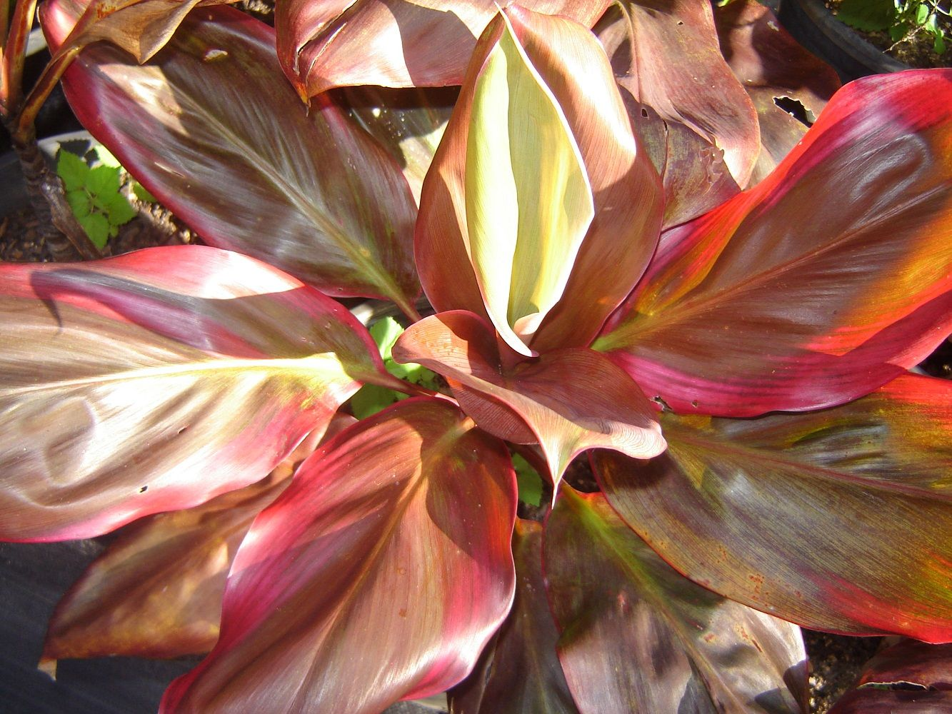 Unusual House Plants For Sale Cordyline Margaret Story All Online Plants For Sale Lush