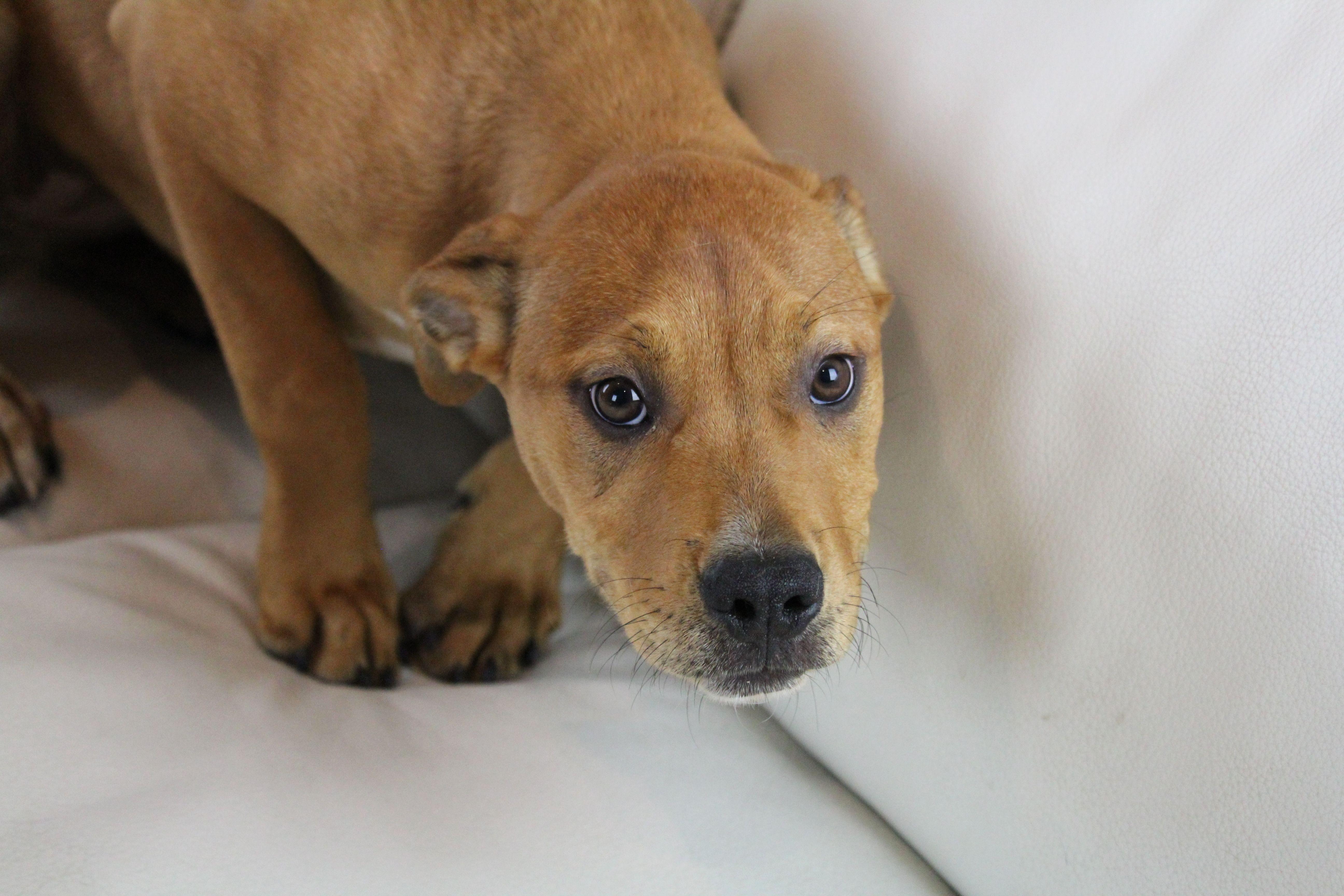Adopt Delphi On Pitbull Terrier Rescue Dogs Delphi