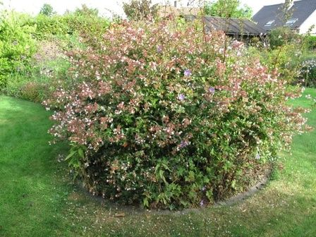 Abelia Edward Goucher Is A Lovely Shrub With Purple To Pink