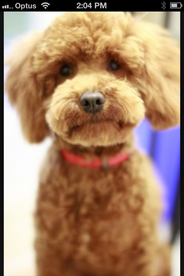 Teddy Clip Nat Animals And Pets Pinterest Poodle Dog And