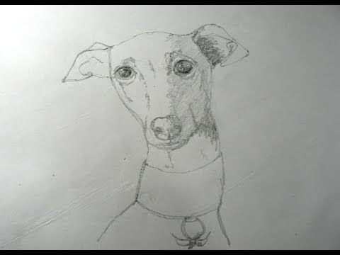 How to draw dogs whippet lurcher greyhound drawing how to pencil sketch tutorialhow