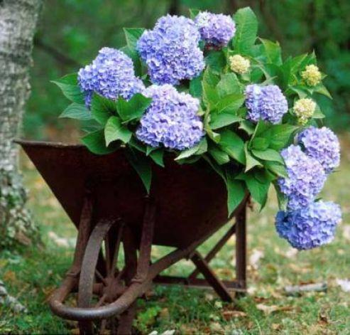 Hydrangeas Are On The Comeback Trail Summer Hydrangeas Endless Summer Hydrangea Big Leaf Hydrangea