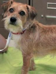 Goofy Is An Adoptable Border Terrier Dog In Cupertino Ca Goofy