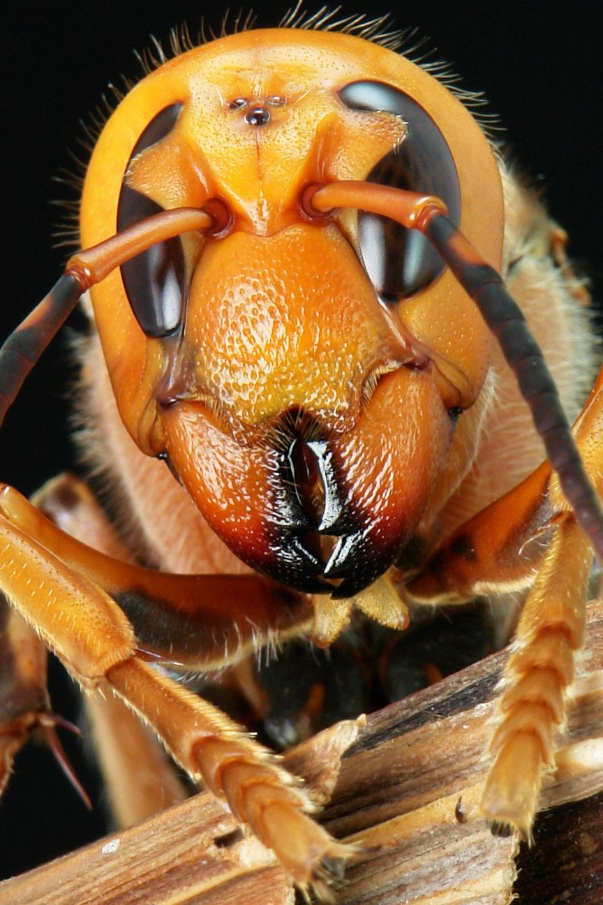 Asian Giant Hornet (Vespa mandarinia) - the world's largest hornet (body length 50mm)