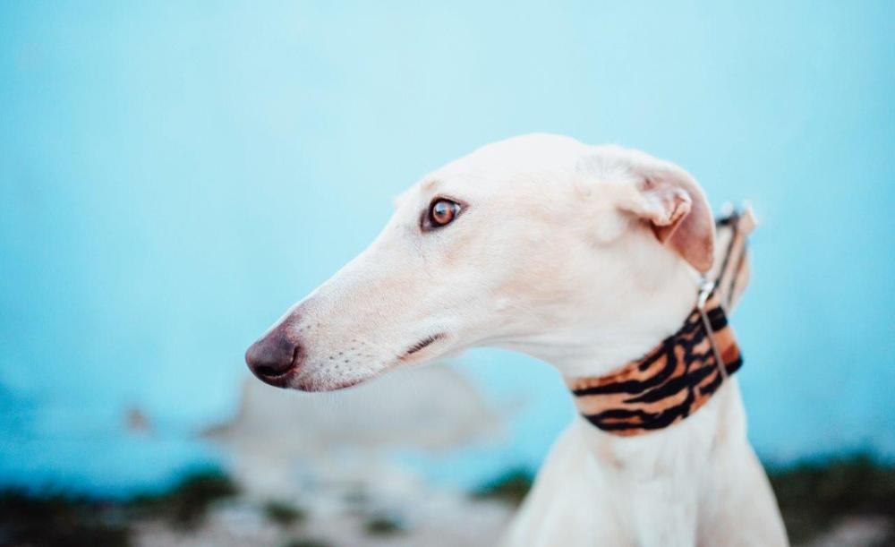 Galgos Podencos A L Adoption Chien Levrier Levrier Animales