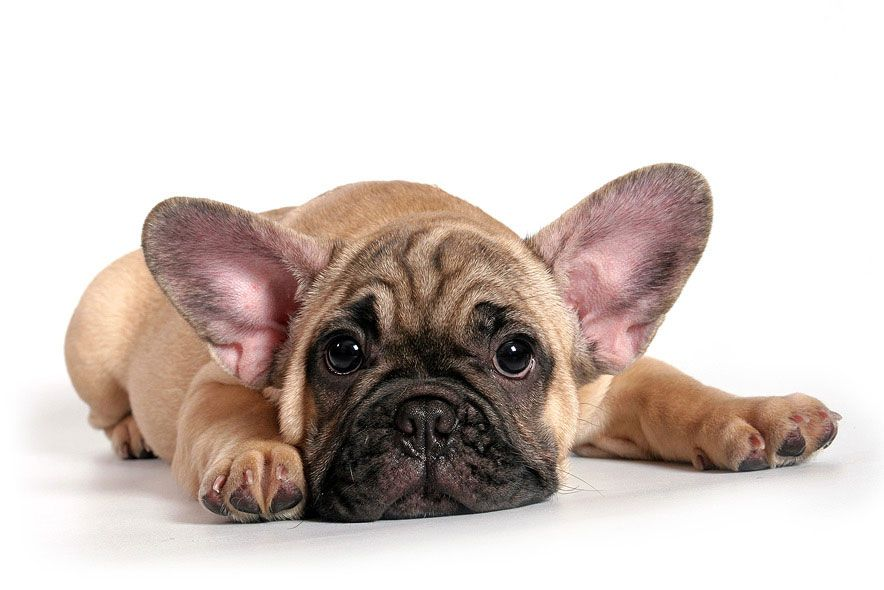 I M Sorry French Bulldog Pup Funny Dogs Puppies Animals