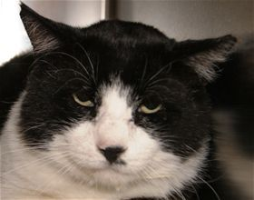 Fat Cat Sid, DSH, 5 years, Male  - Find me on pawschicago.org!
