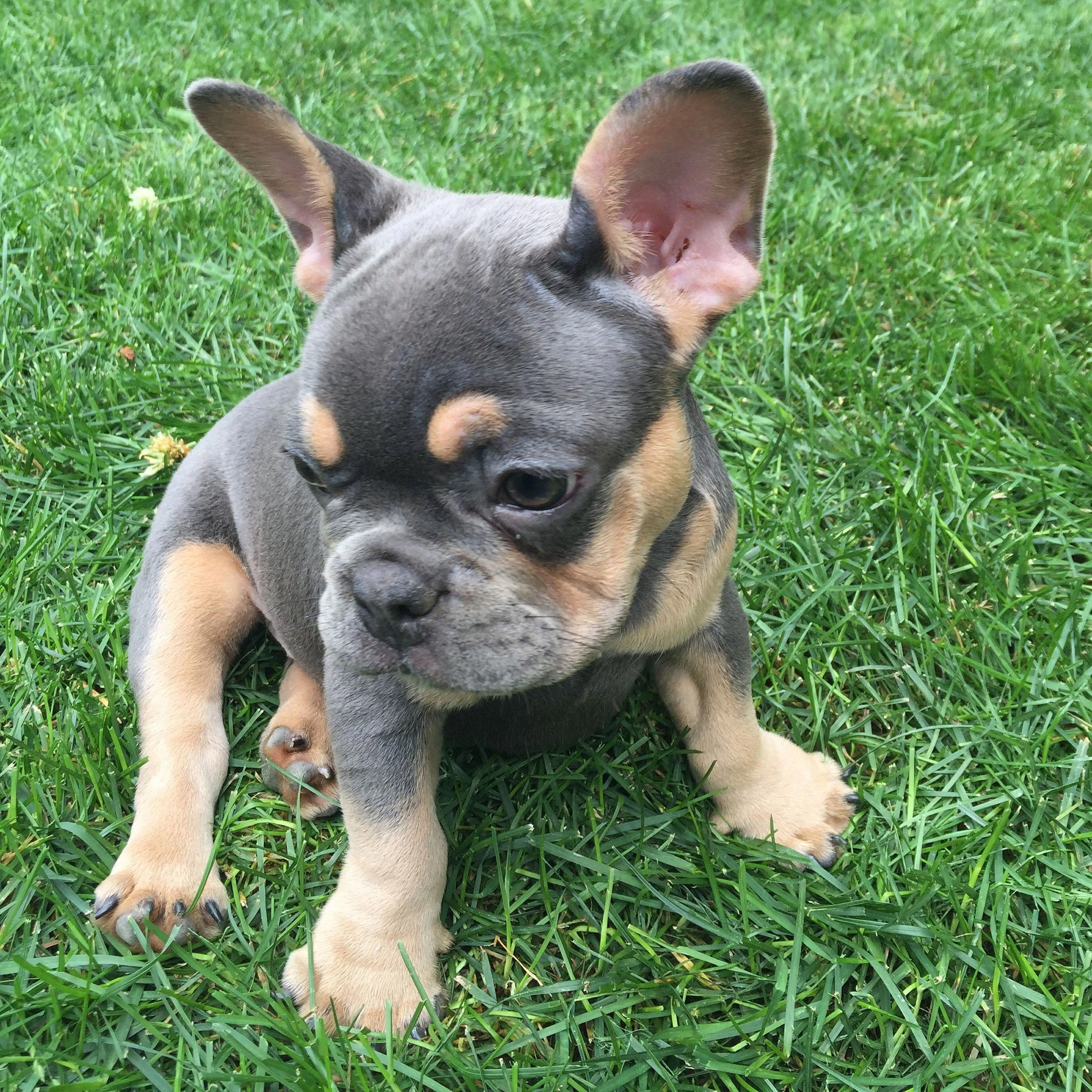 Our New Blue And Tan French Bulldog Puppy Martini She S So Cute And Sweet Bulldogpuppies Bulldog Puppies French Bulldog Puppies French Bulldog Full Grown