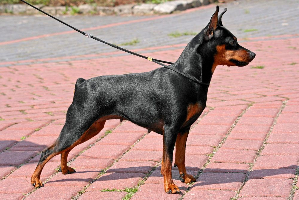 Get To Know The Miniature Pinscher Hummingbird Of Dogs