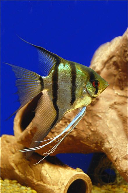 18 Different Types Of Angelfish To Consider For Your Freshwater Fish