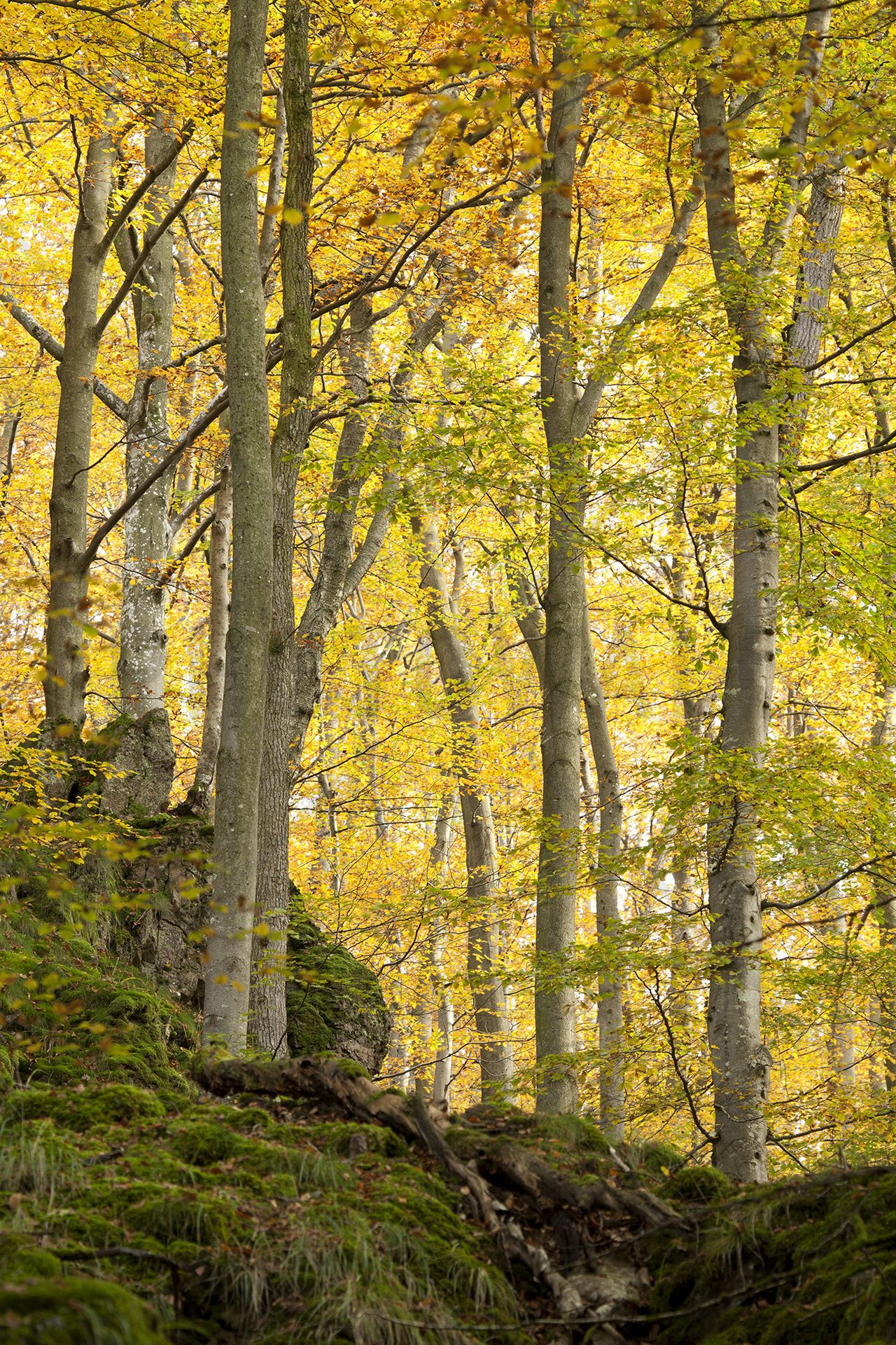 Autumn Aspen Tree Wall Mural & Photo Wallpaper