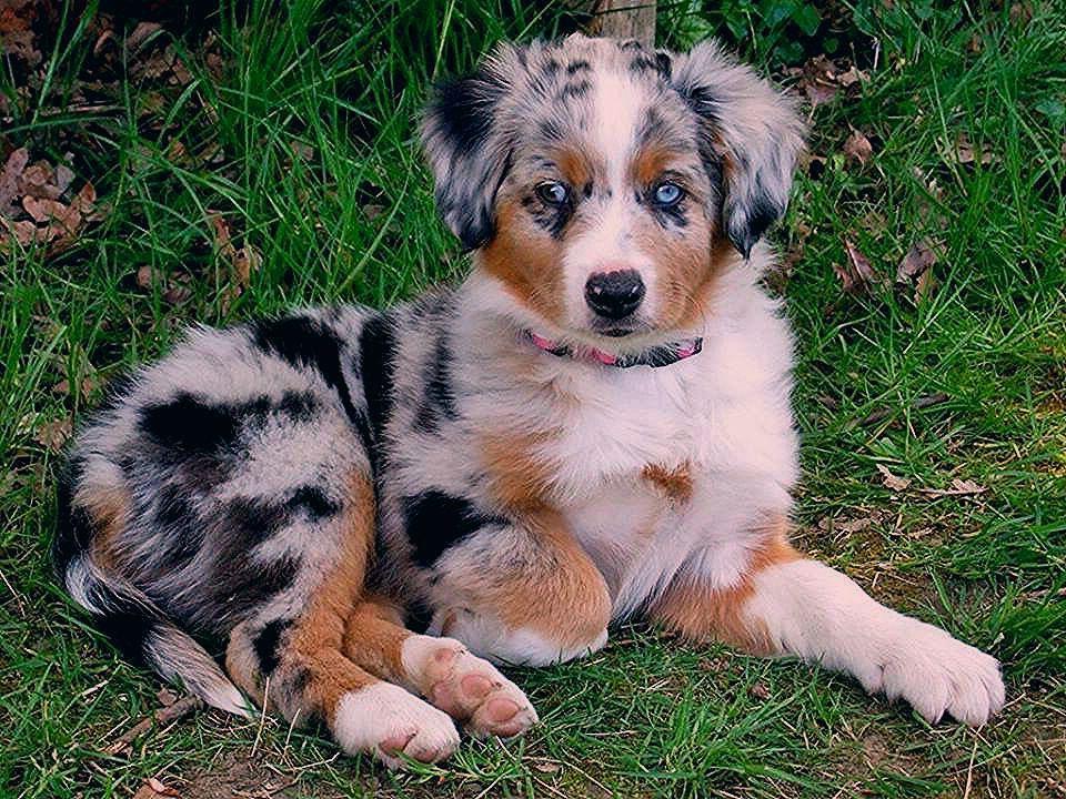 Puppies Aussie
