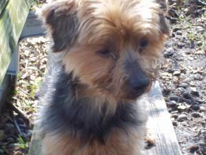 Adopt Lynette On Yorkie Dogs Yorkshire Terrier Yorkie