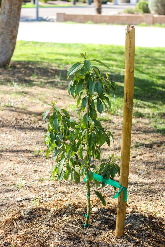 How To Grow An Avocado Tree In The Desert With Images Growing