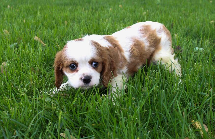 Meet Ella Female Akc Cavalier King Charles Spaniel For Sale