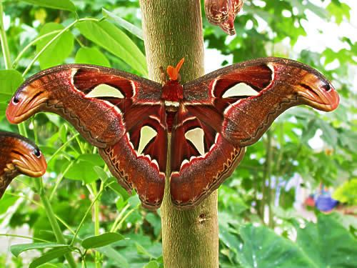 Atlas Moth Attacus Atlas Atlas Moth Butterfly Photos