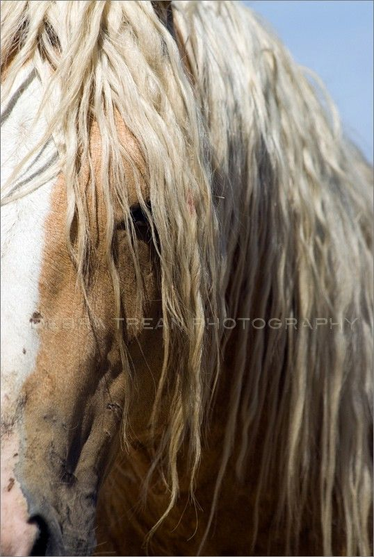 Wild Mustang of Idaho by Debra Trean for BLM