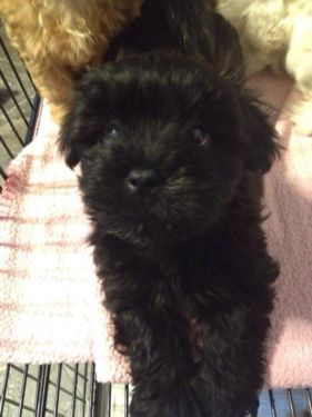 Yorkiepoo Yorkie Poo Dogs And Puppies Cute Dogs