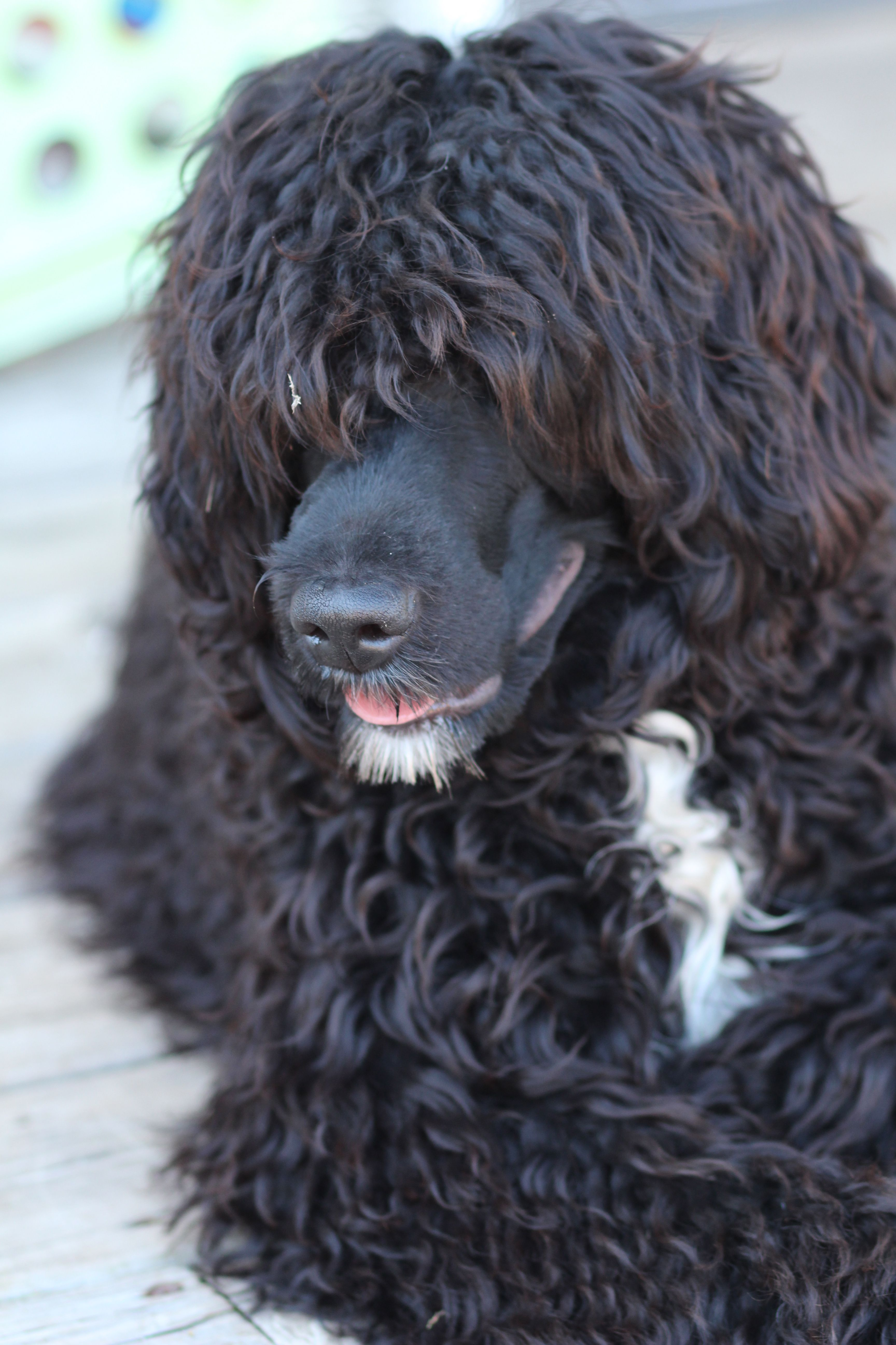 Portuguese Water Dog Portuguese Water Dog Puppy Portugese