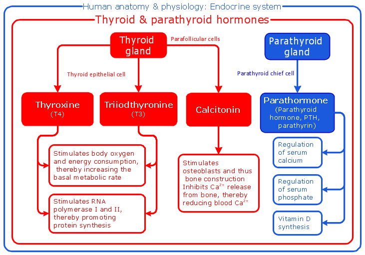 Education Medicine Human Anatomy Physiology Thyroid Parathyroid