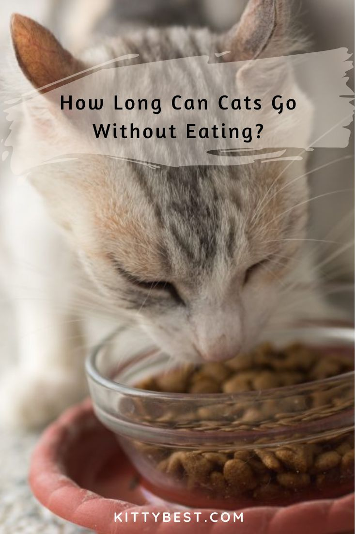 How Long Can Cats Go Without Eating? [And What To Do