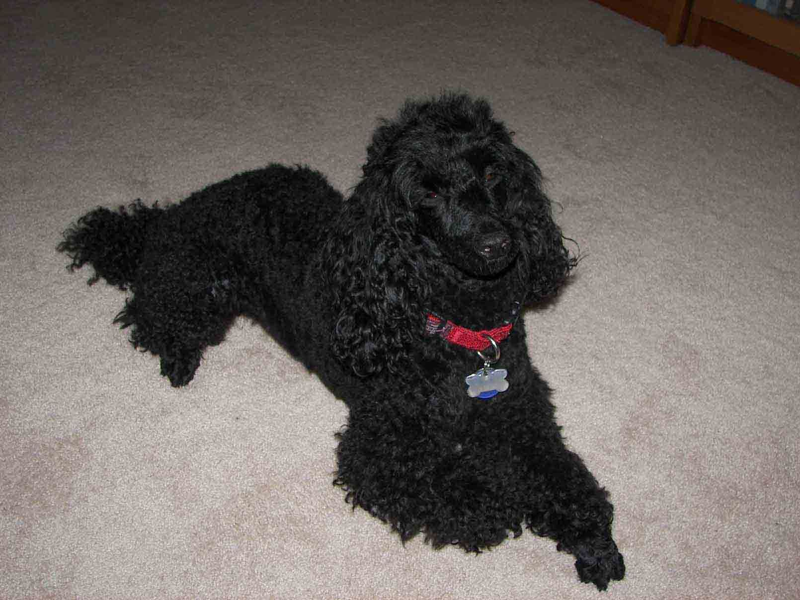 Pet Sitter For Black Miniature Poodle House Sitter Needed Pacific