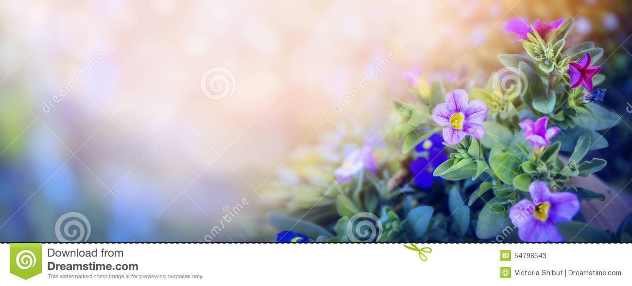 Purple Petunia Flowers Bed On Beautiful Blurred Nature Background Banner For Website With Garden Purple Petunias Nature Backgrounds Flower Images