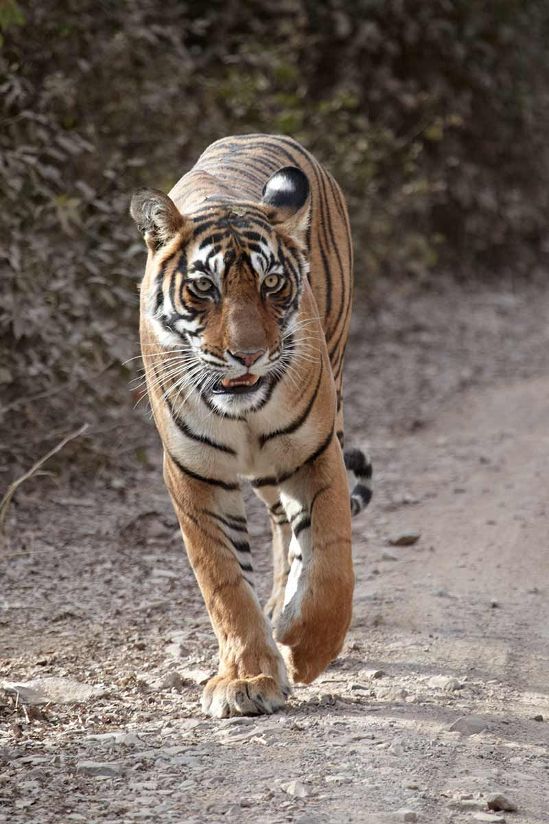 How many tigers are left in the world Animal experiences