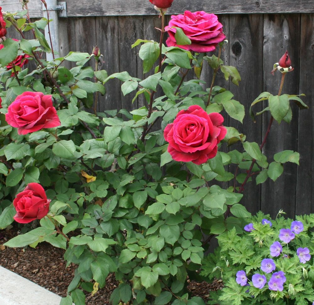Planting and caring for hybrid tea roses rosa mister lincoln how does your garden grow - When to plant roses ...