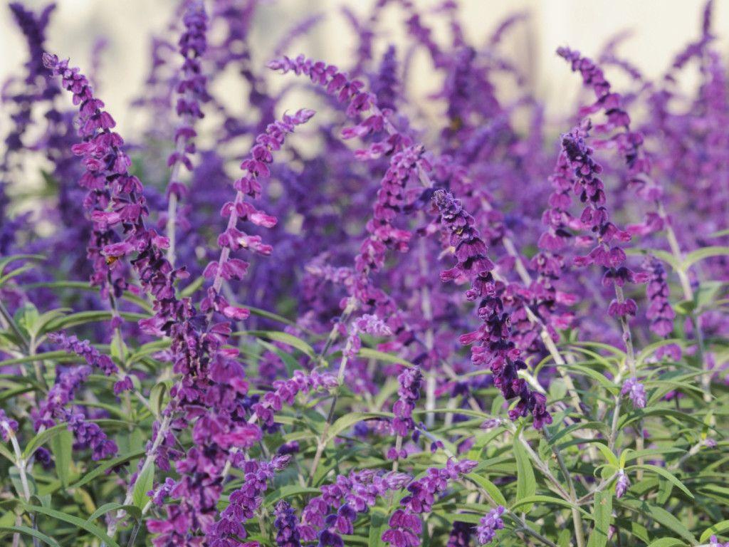 Purple Mexican Bush Sage Flower Perennial Texas Landscape