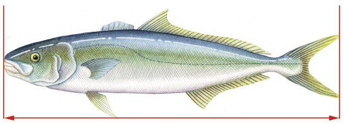 Yellowtail Kingfish | Fish Funs Recipes Fishing For Yellowtail Kingfish Recipes
