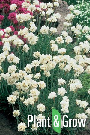 Armeria maritima 'Alba' online bestellen: http://www.plantengrow.nl/bodembedekkers/arenaria-montana-zandkruid-52.htm (Plant & Grow) - Engels gras