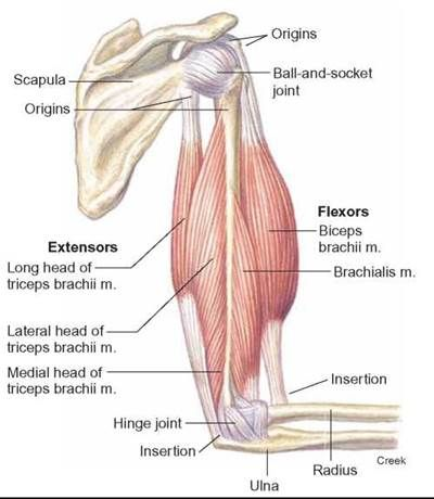 Upper Arm Anatomy | Move Your Body | Pinterest