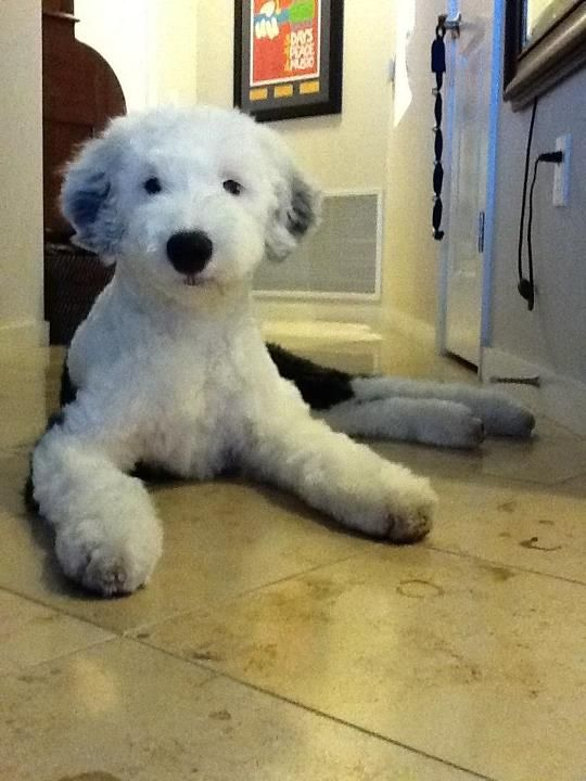 old english sheepdog short hair , Google Search