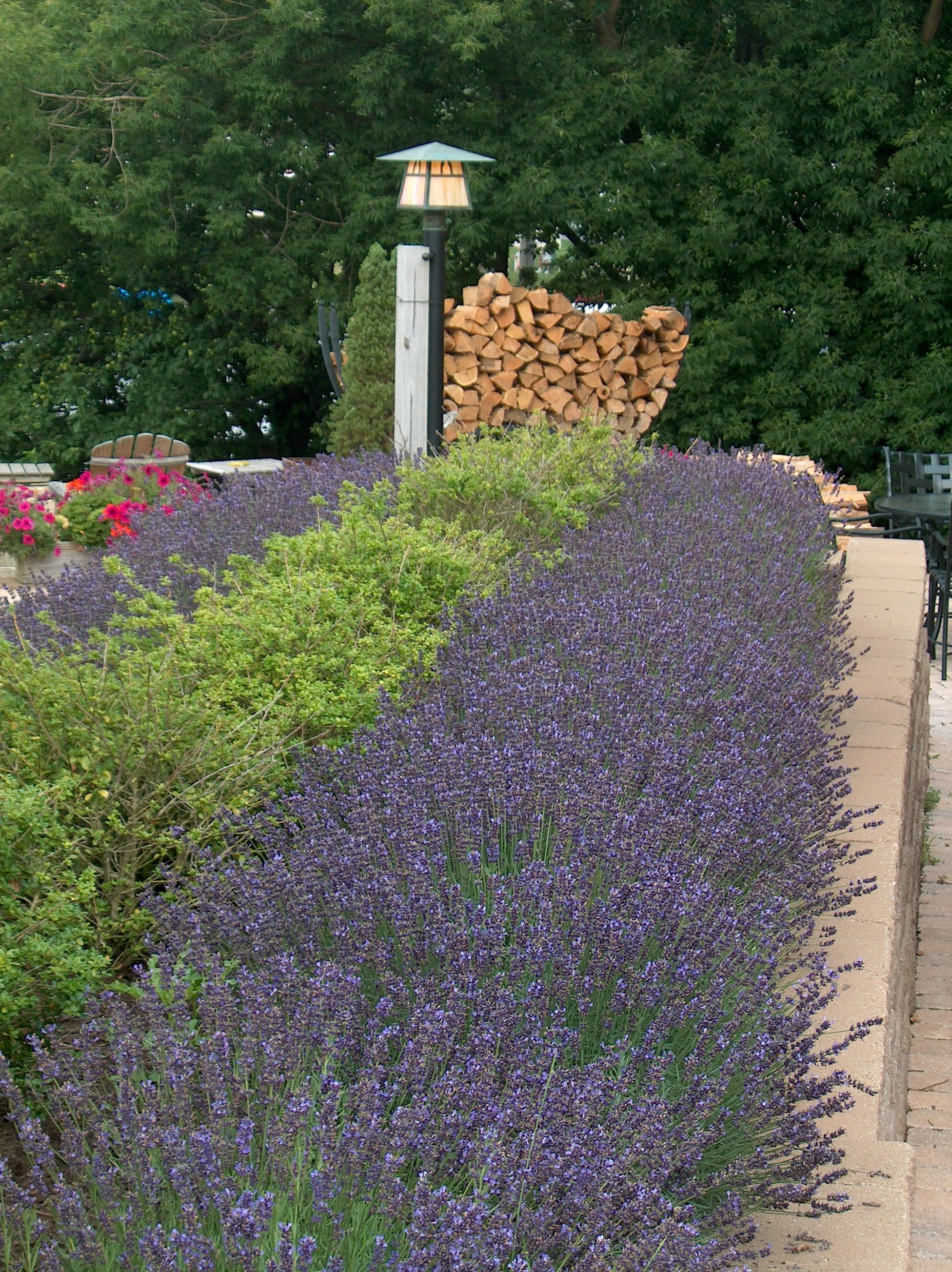 Lavender Mass Planting Flower Pictures Plants Outdoor