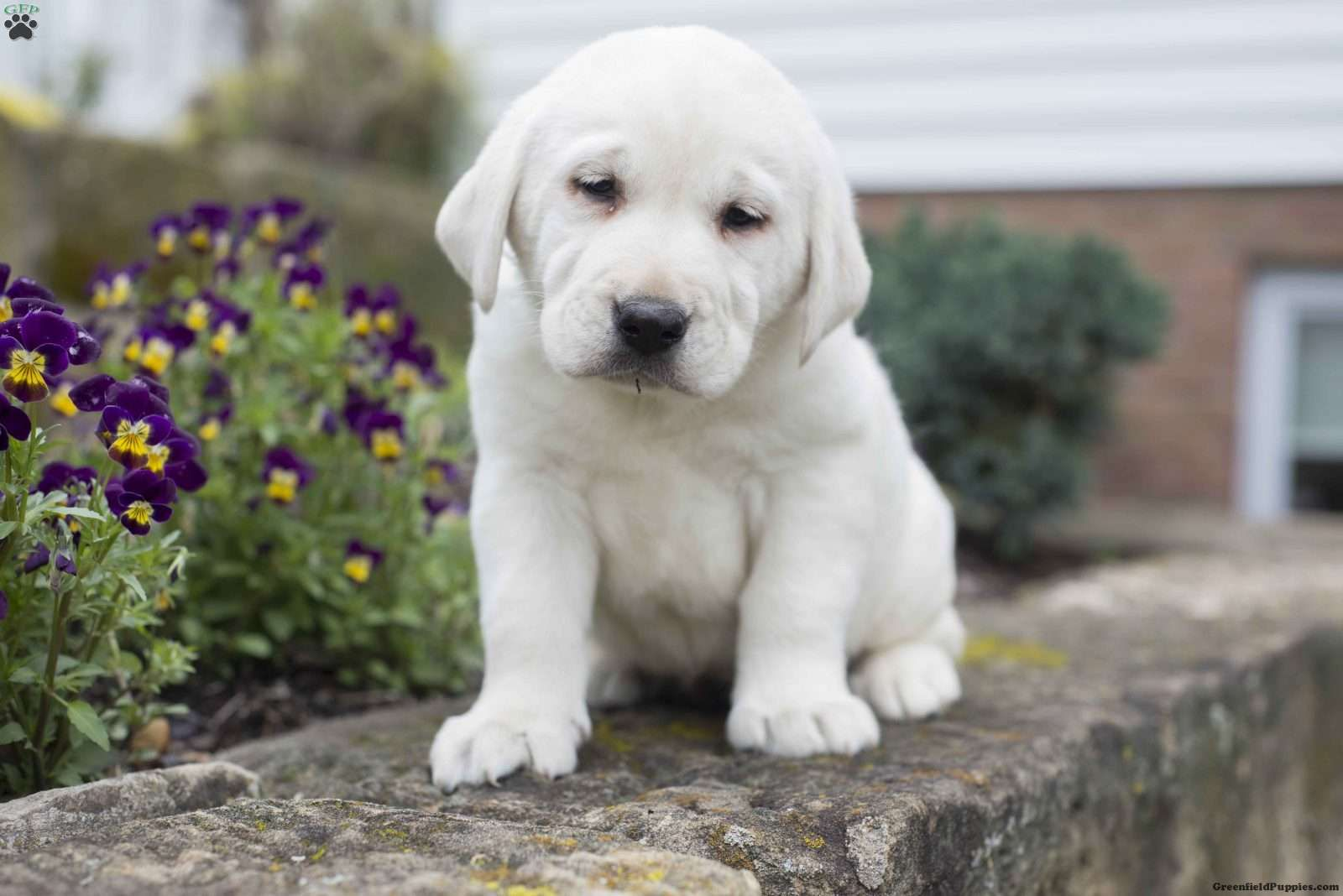 Mirena Labrador Retriever Yellow Puppy For Sale In Ohio