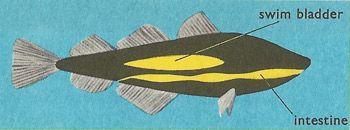 Anatomy Of The Cod Bladder Anatomy Superhero Logos