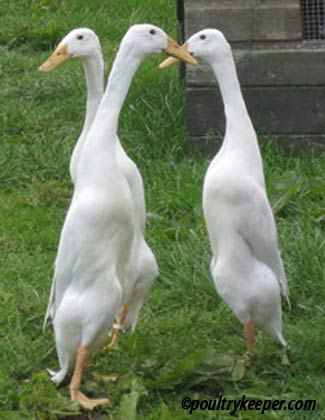 Indian Runner Ducks Good Layers And Foragers Duck Breeds