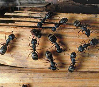Ants Are Probably One Of The Creepiest Insects I Want To Get Rid Of All The Aunts In My House I Hear Pest Control Is Awesome Carpenter Ant Ants Ants In