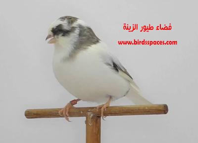كــناري جلوستر غـير مقنبر Gloster Consort Animals Canary Bird
